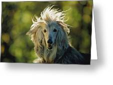 A Portrait Of An Afghan Hound Greeting Card