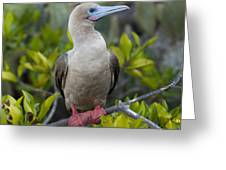 A Red-footed Booby Sula Sula Galapagos Greeting Card