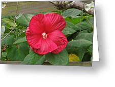 A Red Hibiscus Greeting Card