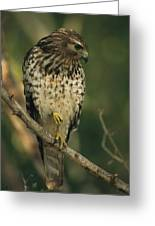 A Red Shouldered Hawk Perches On A Tree Greeting Card