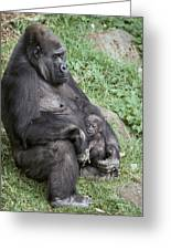 A Relaxed Western Lowland Gorilla Greeting Card