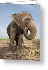 A Rescued Asian Elephant Eats Sugar Greeting Card