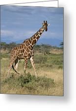 A Reticulated Giraffe On A Samburu Greeting Card