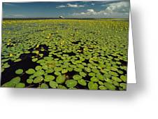 A River Delta Filled With Lily Pads Greeting Card
