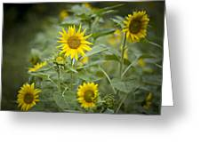 A Row Of Bright Yellow Sunflowers Grow Greeting Card