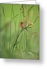 A Scarlet Grosbeak Perched On Grass Greeting Card