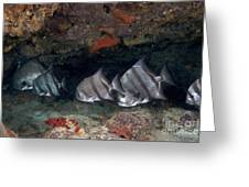 A School Of Atlantic Spadefish Greeting Card by Terry Moore