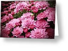 A Sea Of Pink Chrysanthemums Greeting Card