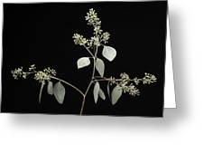 A Seeded Eucalyptus Eucalyptus Cinerea Greeting Card