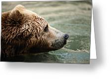A Side-view Of A Captive Kodiak Bear Greeting Card by Tim Laman