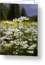 A Small Group Of Daisies Stands Greeting Card