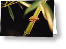 A Spring Peeper Frog Perches Greeting Card by Raymond Gehman