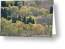 A Stand Of Aspen And Evergreen Trees Greeting Card