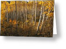 A Stand Of Aspen Trees Displaying Greeting Card