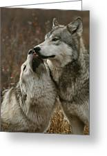 A Submissive Beta Gray Wolf, Canis Greeting Card