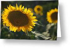 A Sunflower Bows To Its Own Weight Greeting Card