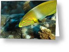 A Sunset Wrasse Swimming Greeting Card