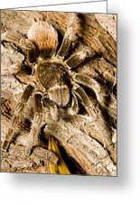 A Tarantula Living In Mangrove Forest Greeting Card