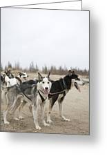 A Team Of Dogs Pull A Cart Greeting Card