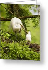 A Tender Moment - Great Egret And Chick Greeting Card