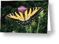A Tiger Swallowtail Butterfly Feeds Greeting Card