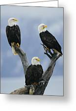 A Trio Of American Bald Eagles Perched Greeting Card