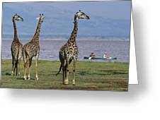 A Trio Of Giraffes Near The Edge Greeting Card