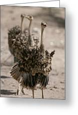 A Trio Of Ostriches, Struthio Camelus Greeting Card