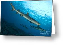 A Trio Of Whitetip Reef Sharks, Kimbe Greeting Card