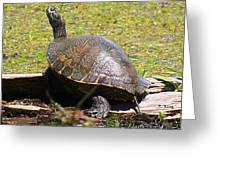 A Turtle Sunning Greeting Card