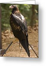 A Wedge-tailed Eagle At A Wild Bird Greeting Card