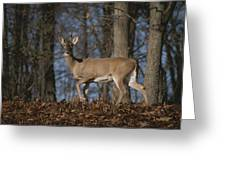 A Wild Deer Caught In Early Morning Greeting Card