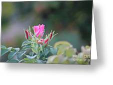 A Wild Rose Greeting Card