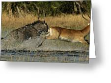 A Wildebeest And A Red Lechwe Leap Greeting Card