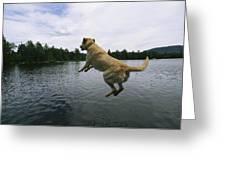 A Yellow Labrador Retriever Jumps Greeting Card