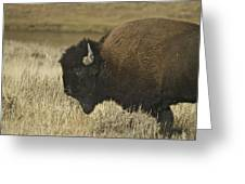 A Yellowstone Bison 9615 Greeting Card