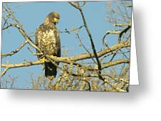 A Young Eagle Gazing Down  Greeting Card