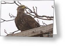 A Young Eagle In The Midst Of Change  Greeting Card