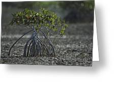 A Young Mangrove Tree Greeting Card by Klaus Nigge