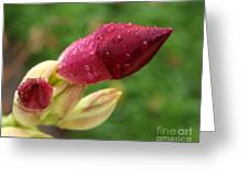 About To Bloom Greeting Card by Chris Hill