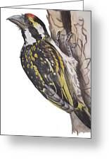 Acacia Pied Barbet Greeting Card