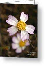 Aceitillo Flower Greeting Card