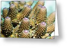 Acropora Plate Coral Polyps Greeting Card