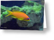 African Anthias Greeting Card