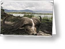African Cape Buffalo Skull, Ngorongoro Greeting Card