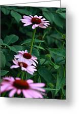 African Daisies 3  Greeting Card