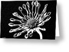 African Daisy In Black And White Greeting Card
