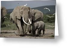 African Elephant Loxodonta Africana Greeting Card