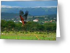African Fish Eagle Flying Greeting Card by Anna Om