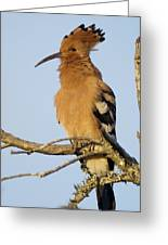 African Hoopoe Greeting Card